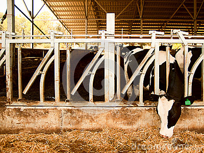 Dairy cow eats straw