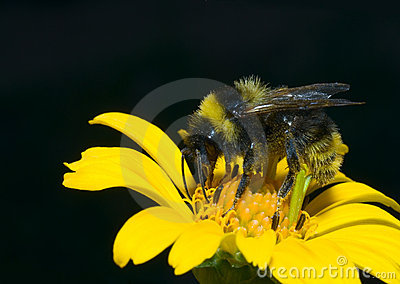 Bumblebee in sunflower