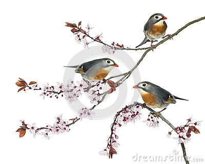 Group of Red-billed Leiothrix perched on a Japanse cherry branch