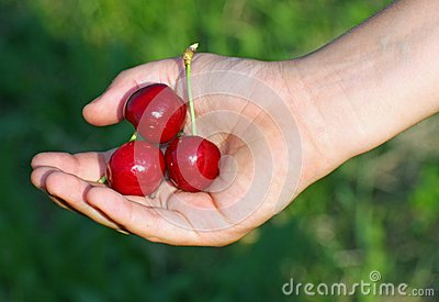 Red cherry  in a hand of child hand in summer