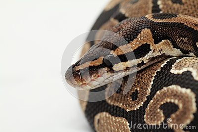 Ball Python close up