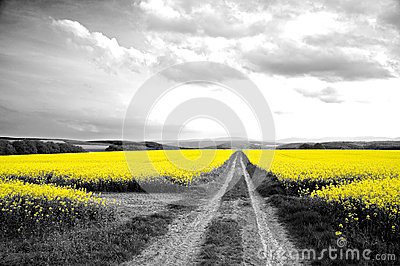 Oilseed Field