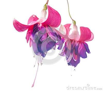 Colourful fuchsia flower isolated on white background, Rocket F