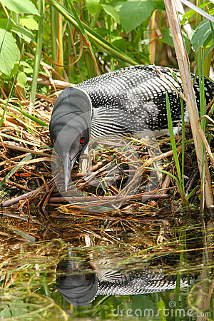 Common Loon on Nest