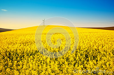 Golden canola field landscape