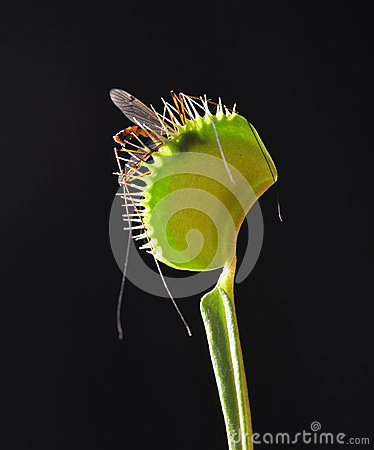 Venus fly trap with prey