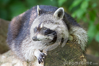 Raccoon resting on a log