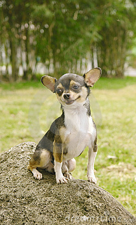 Chihuahua dog smiling