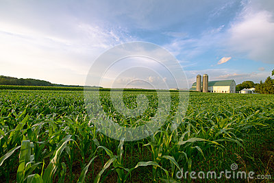 Wisconsin Dairy Farm, Barn by Field of Corn