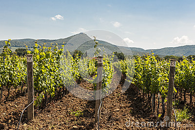 Grapevines and Hills in Tuscany