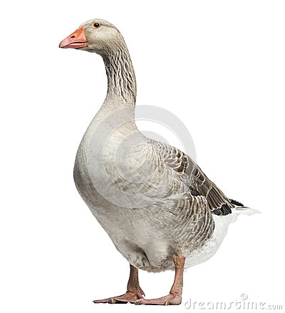 Domestic goose, Anser anser domesticus, isolated
