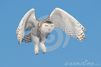 Flying Snowy Owl (Bubo scandiacus)