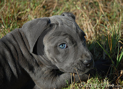 Very Young Puppy Cane Corso