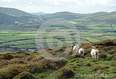 Countryside and sheeps in Ireland