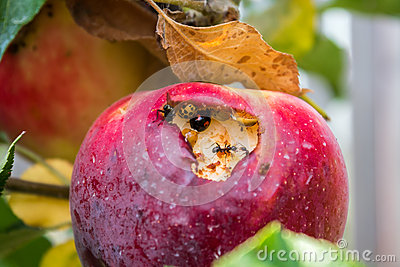 Apple with insects