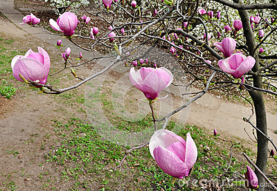 Magnolia tree in flower mightylinksfo