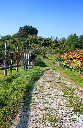 Vineyards in fall, vertical