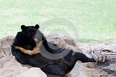 Malayan sun bear lying on ground in zoo use for zoology animals and wild life in nature forest