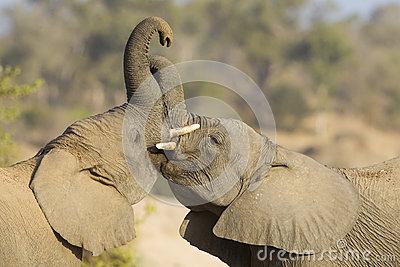 Two African Elephants play fighting in South Africa