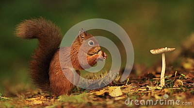 Red Squirrel and Toadstool