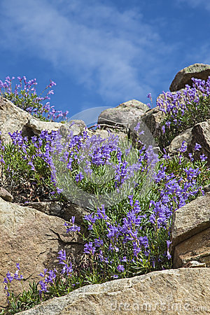 Penstemon in the mountains