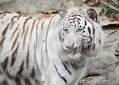 Fierce White Tiger With Blue Eyes Fierce Tiger With Blue Eyes in
