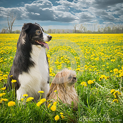 Two Dogs and Dandelions