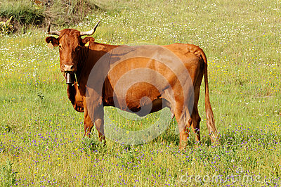 Cow Eating Fresh Wild Flowers - Agriculture - Farm