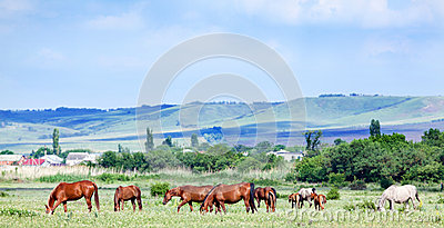 Herd of arabian horses at pasture