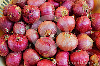 Onion or Allium cepa
