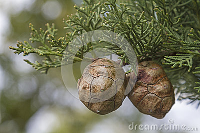 Cypress cones on tree
