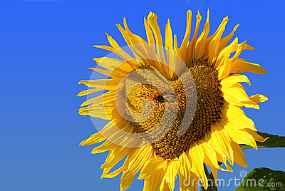 Bright colorful sunflower with heart shaped middle against blue