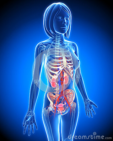 Female Urinary system in blue x-ray loop
