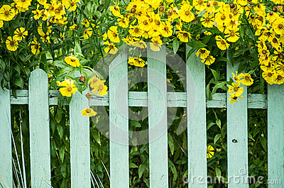 Picket fence and yellow flowers