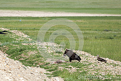 Mongolian Vulture Eating Roadkill