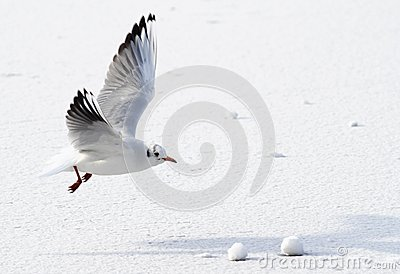 Seagull flying above frozen sea