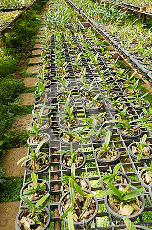 Nursery orchid in the plant nursery,Thailand