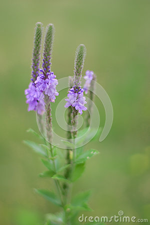 Hoary Vervain Wildflower