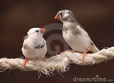 Finches in Love