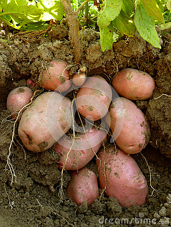 Potato plant with tubers