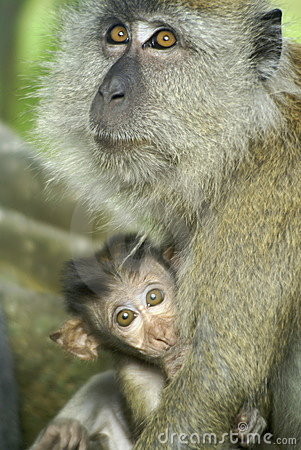 Baby monkey with mother