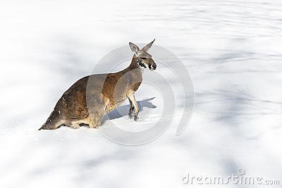 Kangaroo playing in the snow