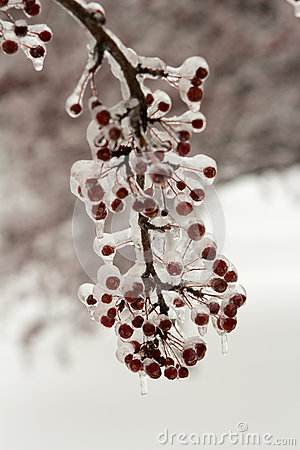 Crab apples covered in ice
