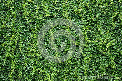 Wall with green ivy leaves