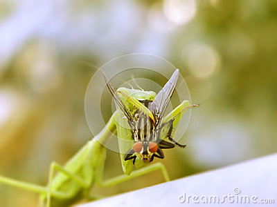 The Prey mantis and the fly