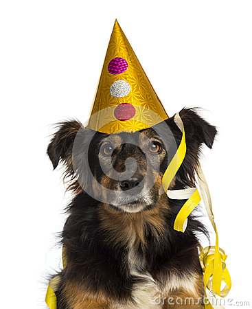Close-up of a Border collie wearing a party hat,