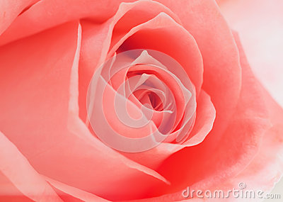 Open soft pink rose backgrounds