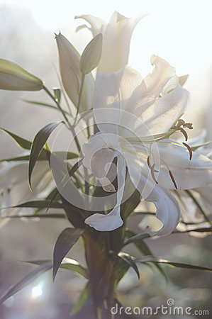 Fresh white lily bouquet in soft sunlight