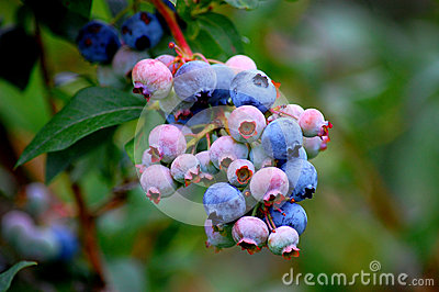 Closeup of blueberry bunch