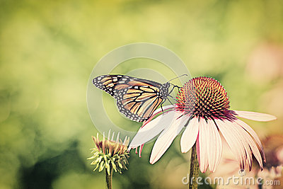 Monarch on cone flower - Retro